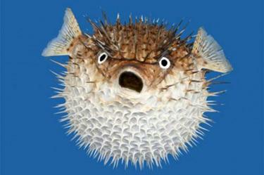 blowfish1